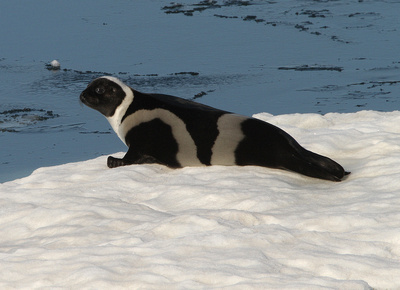 Ribbon Seal (male)